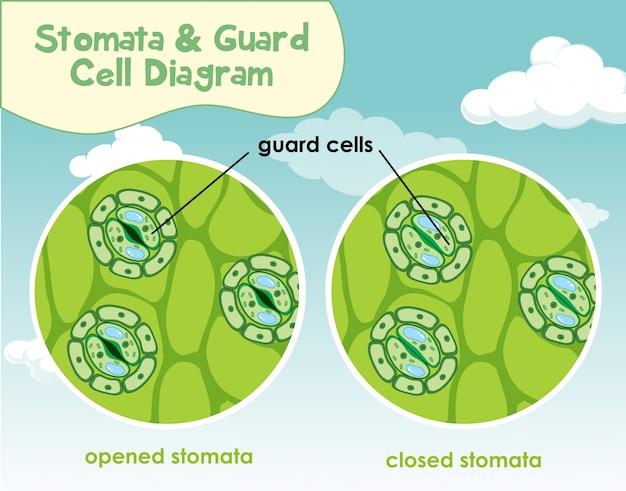 Diagram met plantencel met huidmondjes en bewakingscel