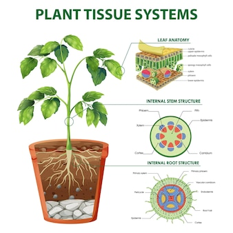 Diagram met plantenweefselsystemen