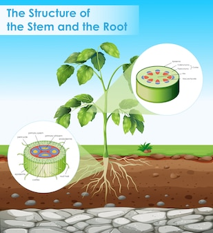 Diagram met structuur van stengel en wortel