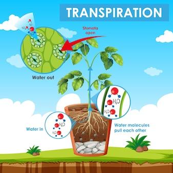 Diagram met transpiratie in plant