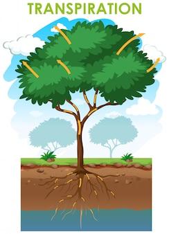 Diagram met transpiratie met plant