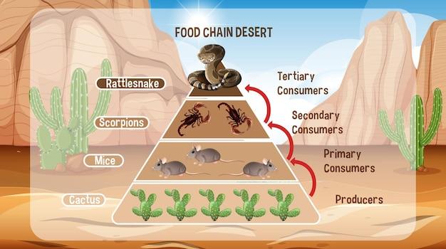 Diagram met voedselketen in de woestijn voor onderwijs