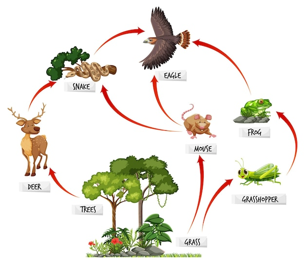 Diagram met voedselweb in het regenwoud