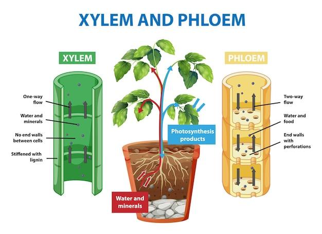 Diagram met xyleem en floëem van de plant