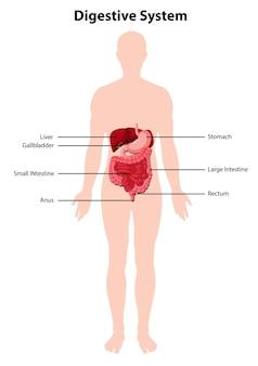 Diagram van het menselijke spijsverteringssysteem