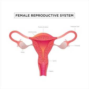 Diagram van het vrouwelijke voortplantingssysteem