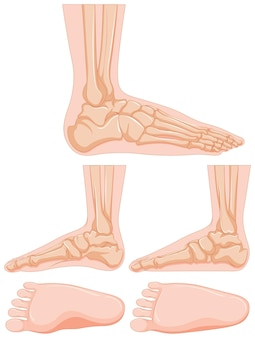 Diagram van menselijk voetbeen