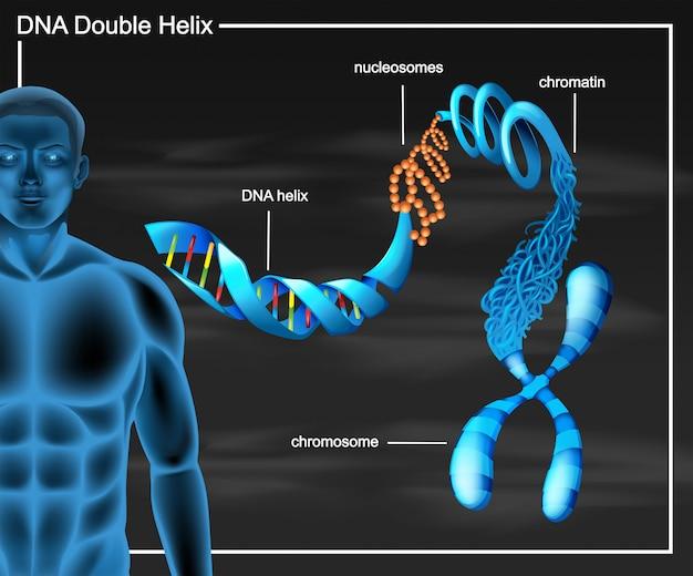 Dna-diagram met dubbele helix