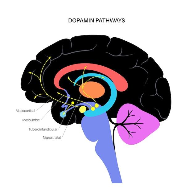 Dopamine-route in het menselijk brein. monoamine neurotransmitter. motorbesturing vectorillustratie
