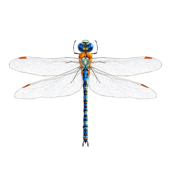 Dragonfly realistische geïsoleerd