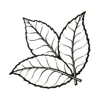 Drie bladeren van thee of munt hand getrokken schets overzicht vectorillustratie