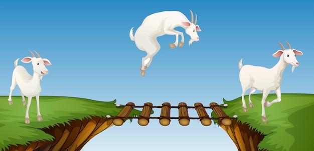 Drie geiten die brug oversteken