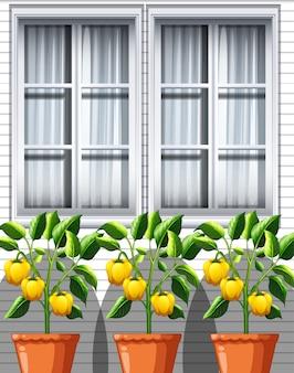 Drie gele paprika planten in potten op venster achtergrond