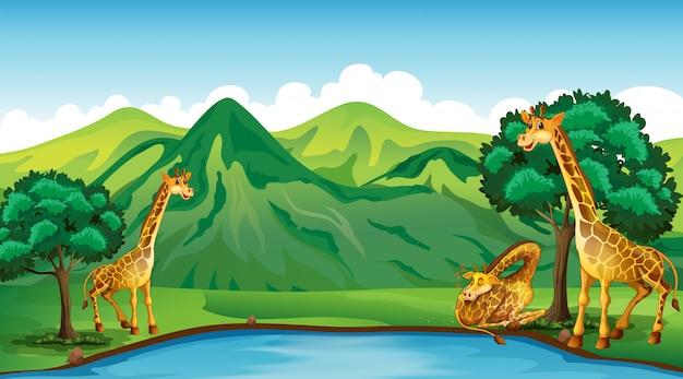 Drie giraffen bij de vijver