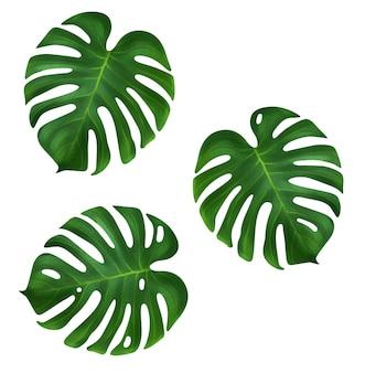 Drie tropische jungle monstera bladeren