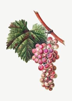 Druiven cluster