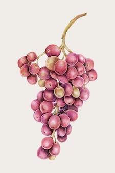 Druiven handgetekende vector in kleurpotlood