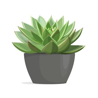 Echeveria cactus