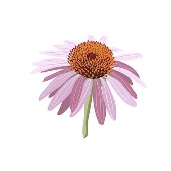 Echinacea bloem geïsoleerd