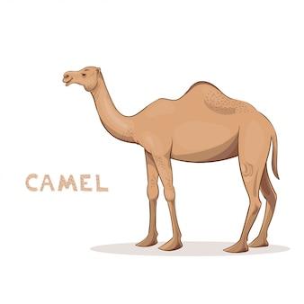 Een beeldverhaalkameel, op een witte achtergrond wordt geïsoleerd die. dierlijk alfabet.