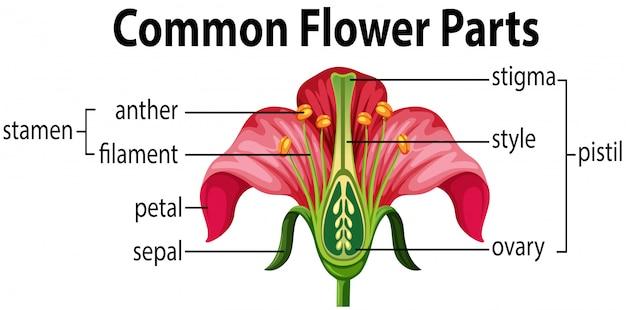 Een gemeenschappelijke bloemdelen