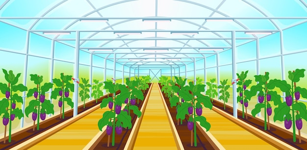 Een grote kas met rijen aubergines. vectorillustratie.