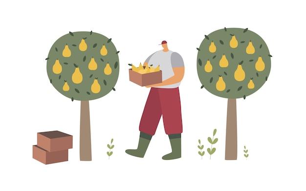 Een man in werkkleding en laarzen haalt peren uit bomen. agrarisch werk in de boomgaard.