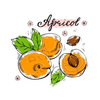 Een reeks handgetekende kleurrijke abrikozen op een witte geïsoleerde achtergrond.