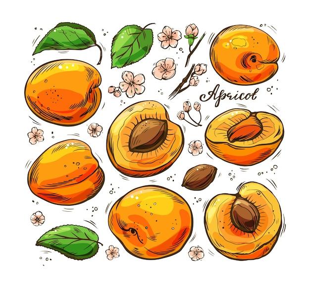Een reeks kleurrijke sappige abrikozen op een witte achtergrond. handgetekende illustratie.