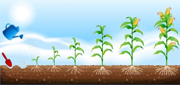 Een set van graanontwikkeling