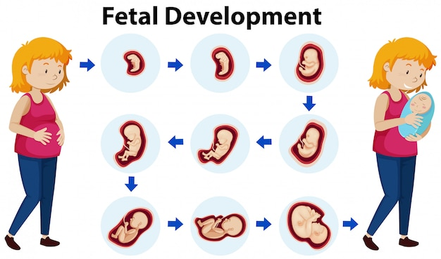 Een vector van foetale ontwikkeling