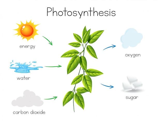 Een vector van plant fotosynthese