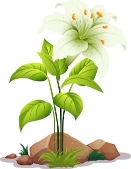 Een witte lelie met bladeren op wit