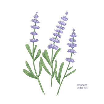 Elegante botanische tekening van lavendelbloemen en groene bladeren. mooie bloeiende plant hand getrokken
