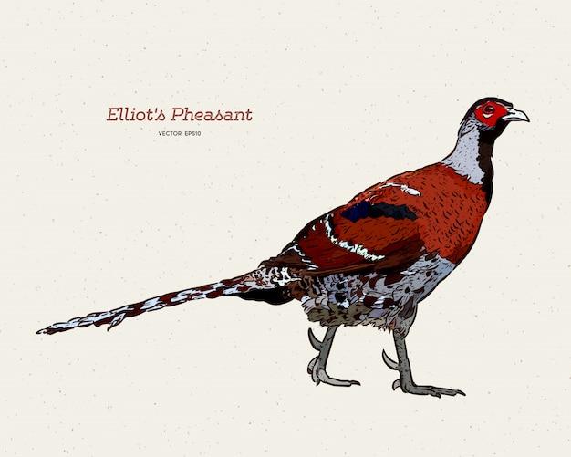 Elliot's fazant
