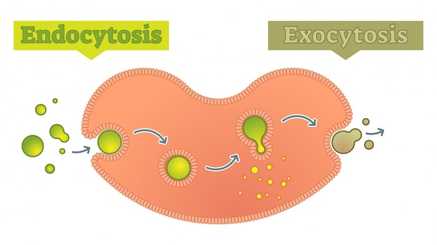 Endocytose en exocytose - hoe celtransport moleculen diagram, vectorschema illustreren