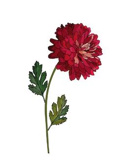 Enkele bloem ruby chrysant op tak met groene bladeren.