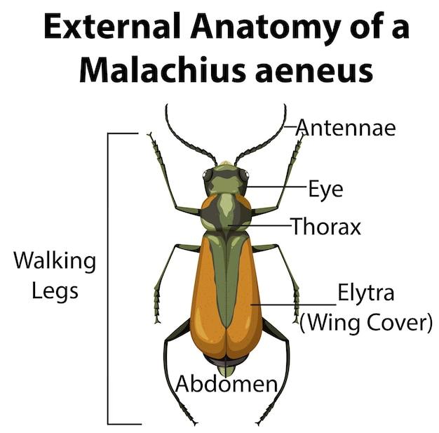 Externe anatomie van een malachius aeneus op witte achtergrond