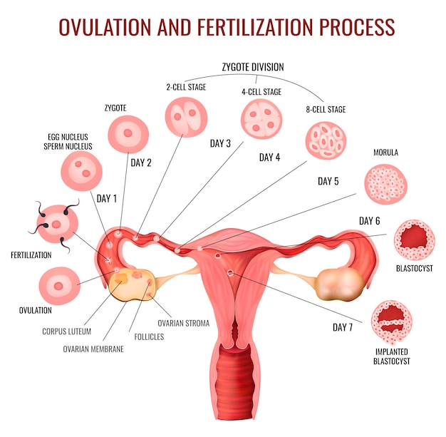 Fasen van het ovulatie- en bevruchtingsproces bij het vrouwelijk voortplantingssysteem