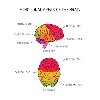 Functionele delen van de hersenen