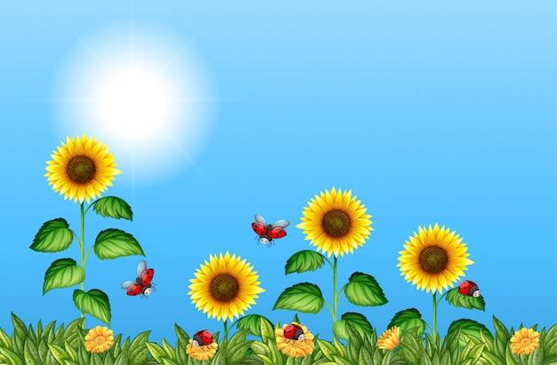 Gebied van zonnebloemen met lieveheersbeestjes