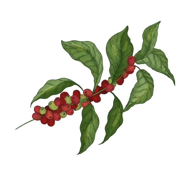 Gedetailleerde botanische tekening van koffie of koffie boomtakken met bladeren en rijpe vruchten of bessen geïsoleerd op een witte achtergrond. natuurlijke illustratie hand getekend in elegante vintage stijl.