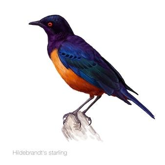 Gedetailleerde hildebrandts starling illustratie