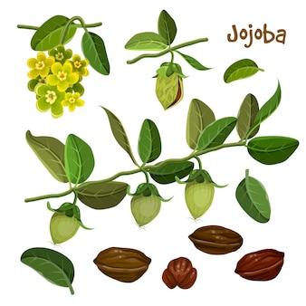 Gedetailleerde jojoba-elementenverzameling