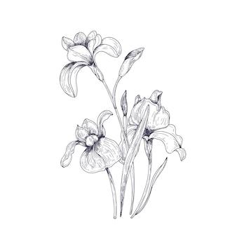 Gedetailleerde tekening van iris lentebloemen en knoppen. seizoensgebonden mooie tuin bloeiende plant geïsoleerd op wit