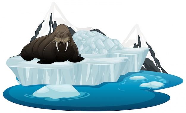 Geïsoleerde foto van walrus op ijs