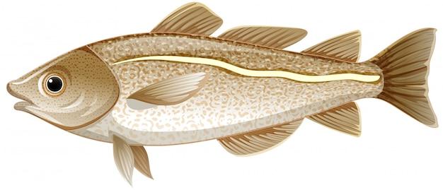 Geïsoleerde kabeljauwvissen op witte achtergrond