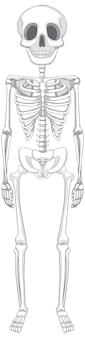Geïsoleerde menselijk skelet anatomie