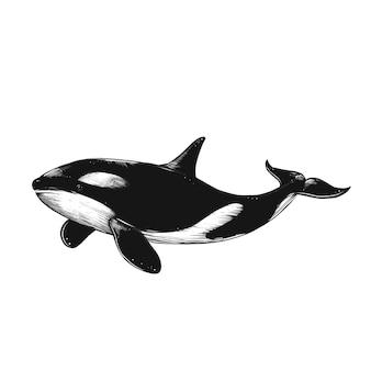 Geïsoleerde schets gravure illustratie van walvis