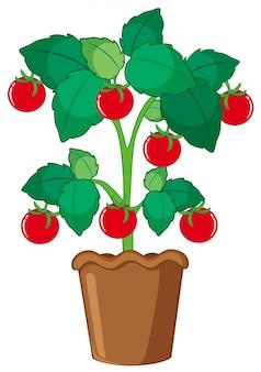 Geïsoleerde tomatenplant in pot
